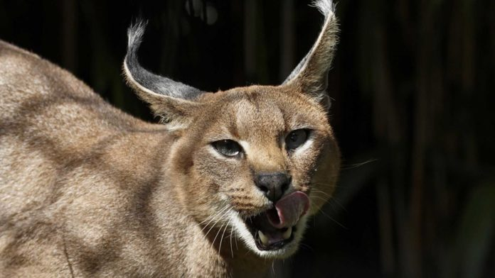 """Caracals, or """"desert lynxes,"""" are a rare breed of cat native to Africa. (nationalzoo.si.edu, File)"""